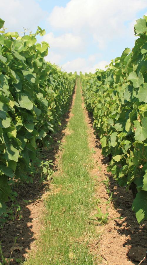 Vigne di Verzy in champagne